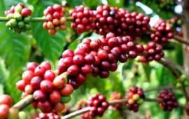 Sử dụng máy móc thiết bị để cải tạo đất trồng cây cafe