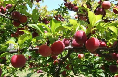 Kinh nghiệm trồng cây mận nhanh và hiệu quả nhất