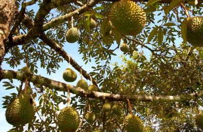 Kỹ thuật trồng cây sầu riêng hạt lép