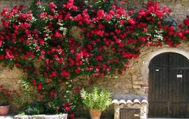 Làm thế nào để có hàng rào hoa hồng đẹp như mơ