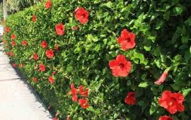 Làm hàng rào hoa râm bụt đẹp và không tốn kém