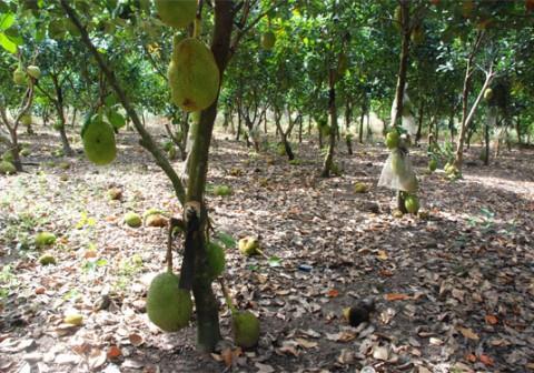 Hướng dẫn cách trồng cây mít thái năng suất cao