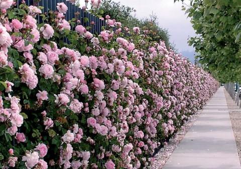 Cách làm hàng rào hoa đẹp nhất