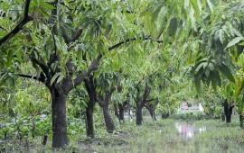 Kỹ thuật trồng và chăm sóc cây xoài
