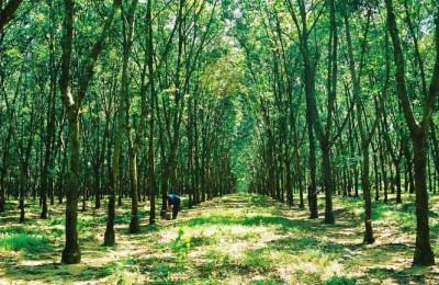 Cách trồng cây cao su đem lại hiệu quả cao