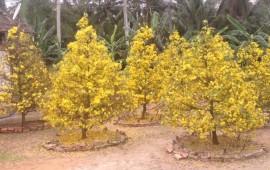 Kỹ thuật trồng cây mai vàng