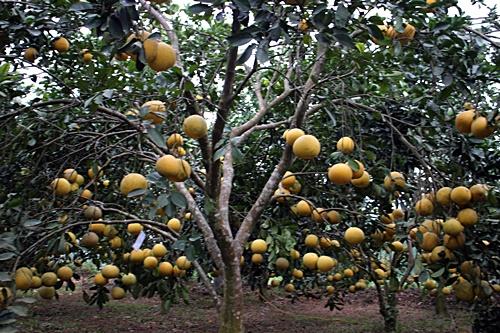 Cây bưởi sau khi được cắt cành cho nhiều quả