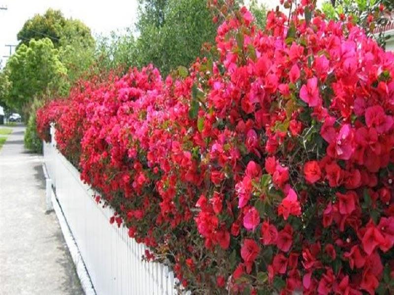 Hàng rào hoa giấy