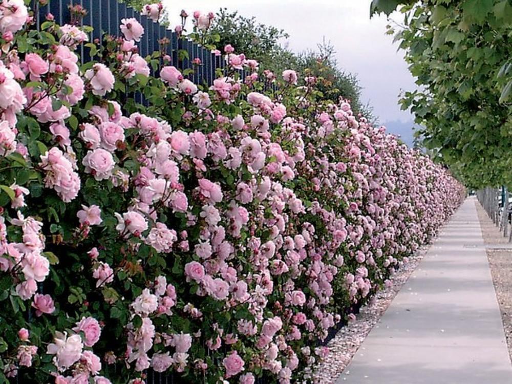 Hàng rào hoa hồng