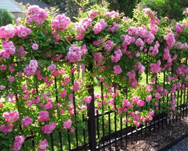 Hàng rào hoa hồng leo bằng sắt