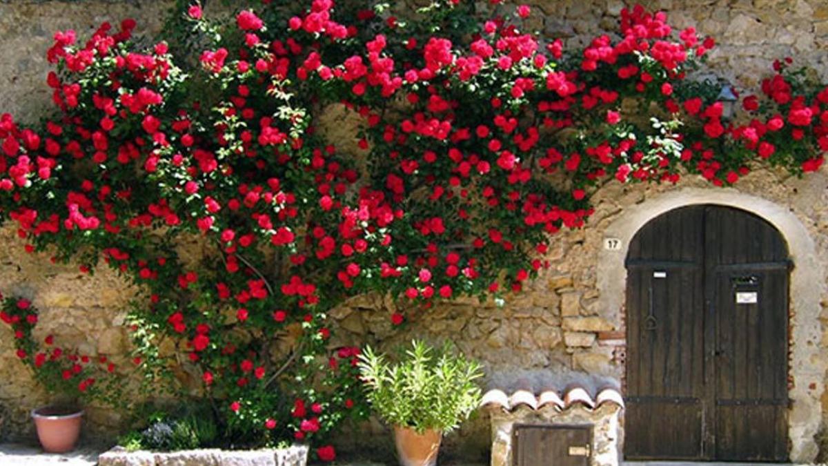 Hàng rào hoa hồng leo bằng tường