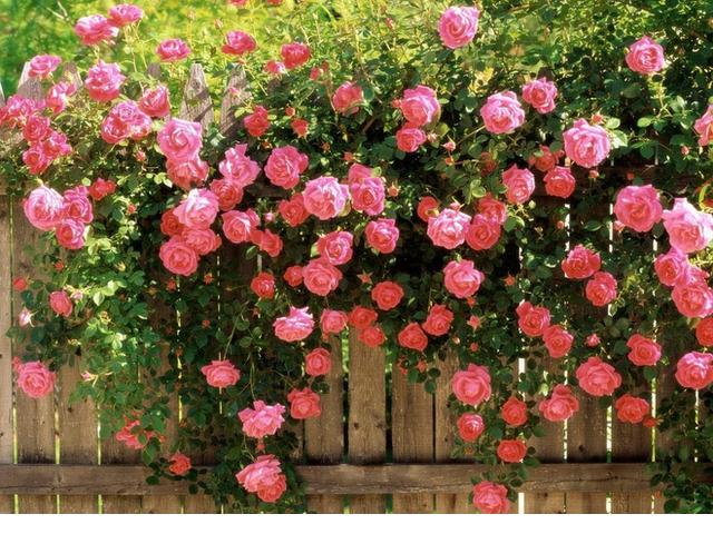 Hàng rào hoa hồng leo bằng gỗ