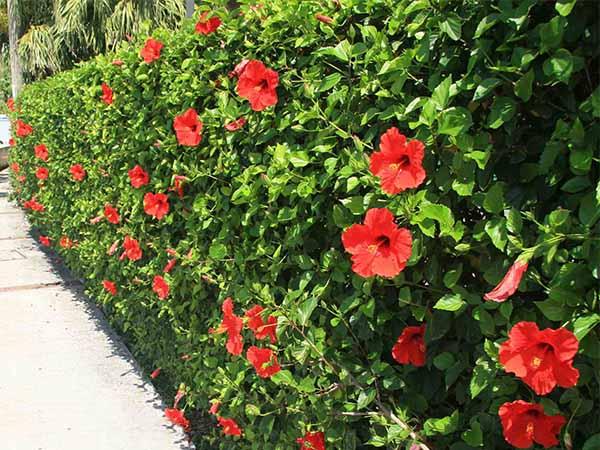 Hàng rào hoa râm bụt