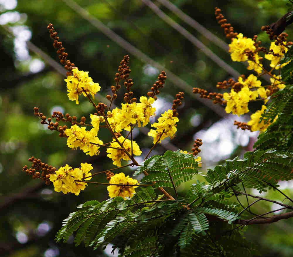 Hoa cây tô mọc rất đẹp và mọc thành chùm
